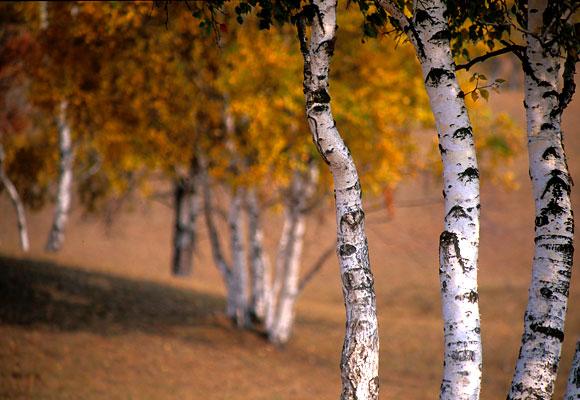 """фото """"birch"""" метки: природа, пейзаж, осень, цветы"""