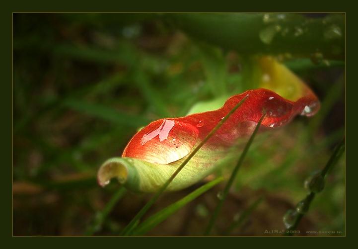 """фото """"Лодочка в весну."""" метки: макро и крупный план, природа, цветы"""