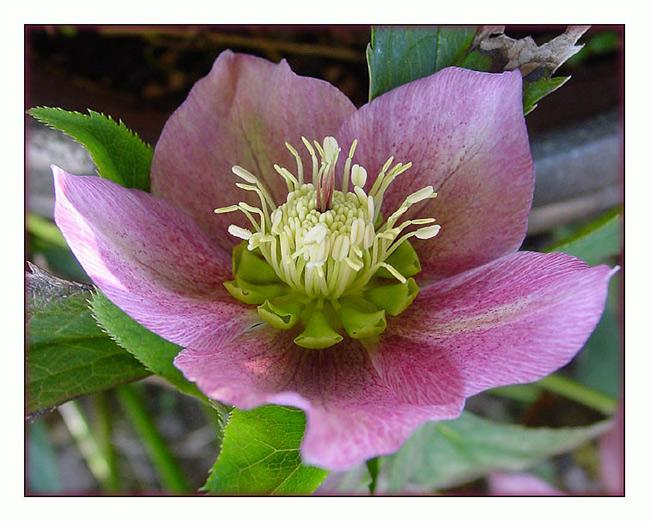 """фото """"hazy"""" метки: макро и крупный план, природа, цветы"""