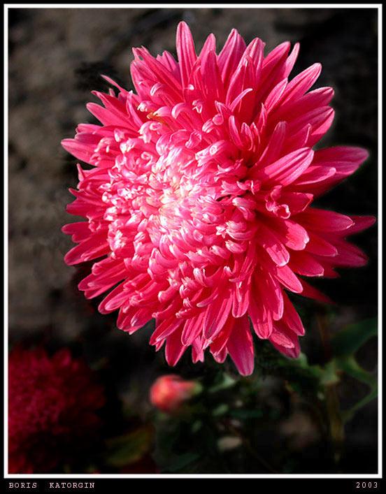 """фото """"Астра"""" метки: природа, макро и крупный план, цветы"""