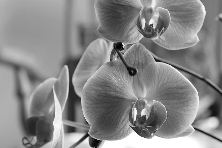 черно белая картинка орхидеи
