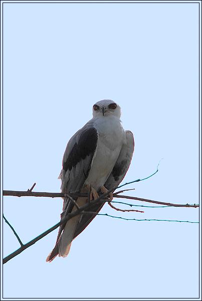 "photo ""White-tailed Kite"" tags: nature, travel, South America, wild animals"