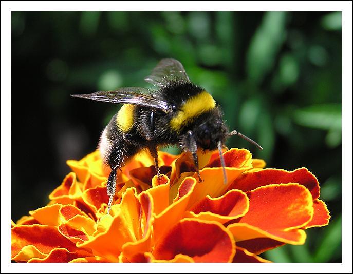 """фото """"Шмелиный обед"""" метки: природа, макро и крупный план, насекомое"""