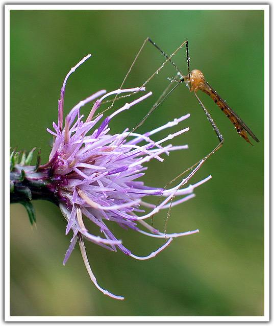 "фото ""Purple Flower with Guest"" метки: природа, насекомое, цветы"