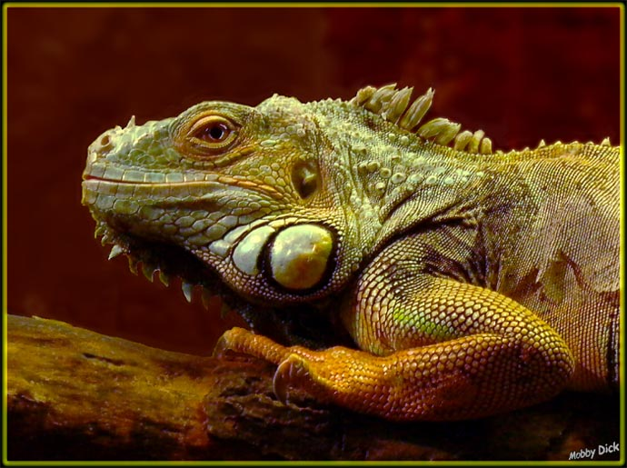 """фото """"портрет игуан"""" метки: природа, дикие животные"""