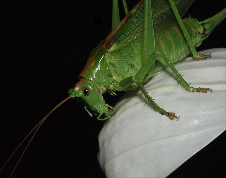 """фото """"Кузнечик-3"""" метки: природа, макро и крупный план, насекомое"""