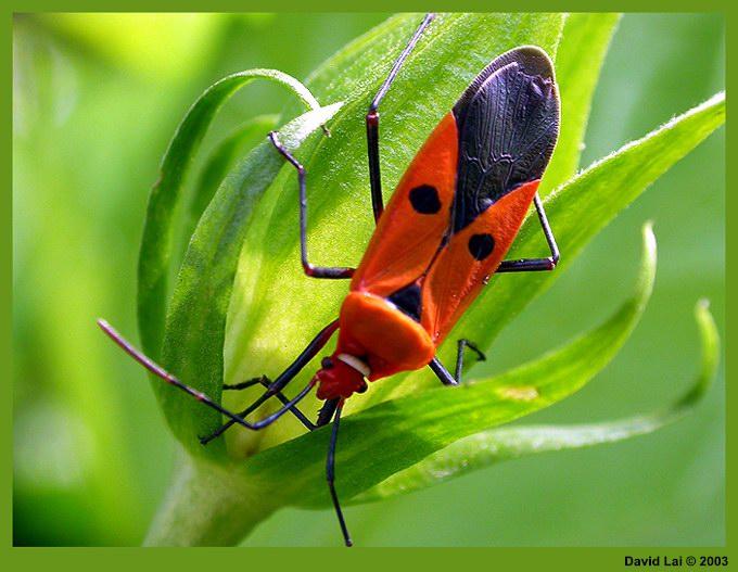 """фото """"Red Bug"""" метки: макро и крупный план, природа, насекомое"""