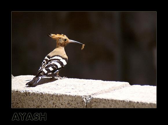 """фото """"The Hoopoe Frinedship!"""" метки: природа, дикие животные"""
