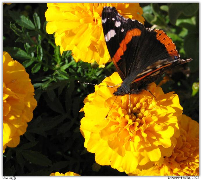 """фото """"Бабочка-шоколадница"""" метки: макро и крупный план, природа, насекомое"""