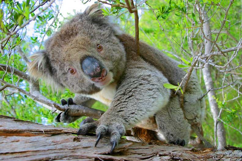 """фото """"Koala"""" метки: путешествия, природа, Австралия, дикие животные"""