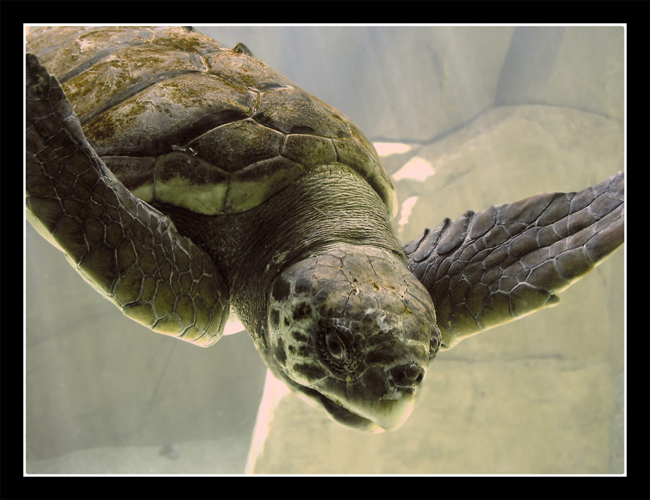"фото ""Flying Turtle"" метки: природа, юмор, дикие животные"