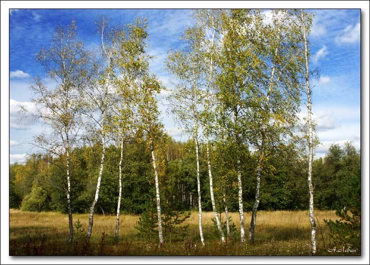 """фото """"Березки"""" метки: пейзаж, лес"""