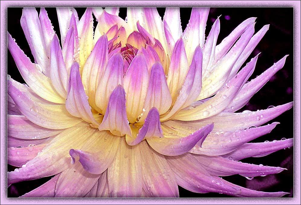 """фото """"Хризантема"""" метки: природа, макро и крупный план, цветы"""