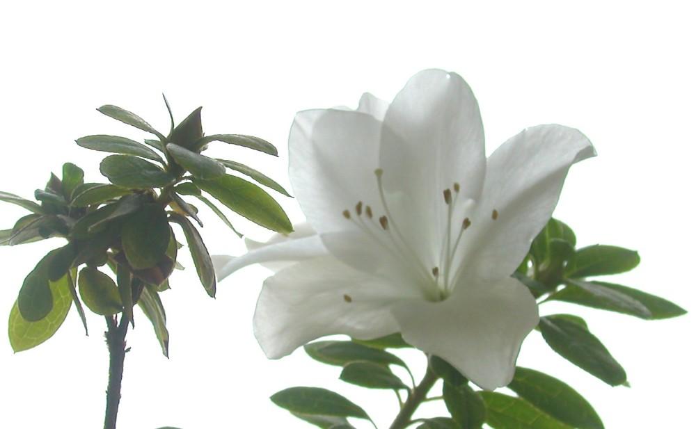 """фото """"Азалия"""" метки: природа, цветы"""