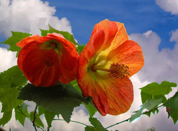 """фото """"Habiscus"""" метки: природа, макро и крупный план, цветы"""