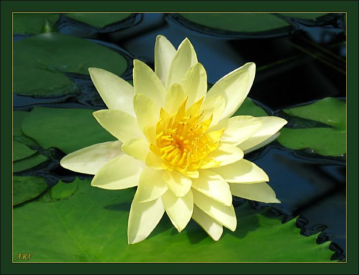 """фото """"Лилия 3"""" метки: природа, макро и крупный план, цветы"""