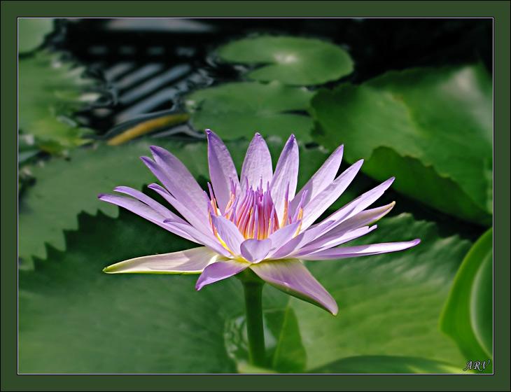 """фото """"Лилия 1"""" метки: природа, макро и крупный план, цветы"""