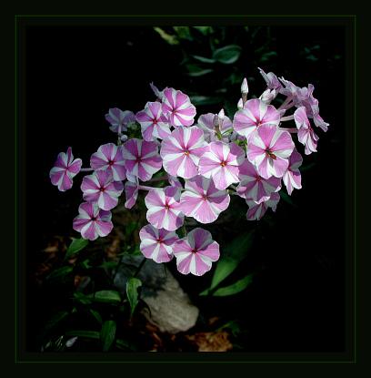 """фото """"Stripes"""" метки: природа, насекомое, цветы"""