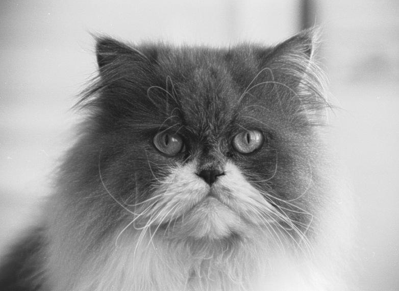 """фото """"Silvestre attentive"""" метки: природа, черно-белые, домашние животные"""
