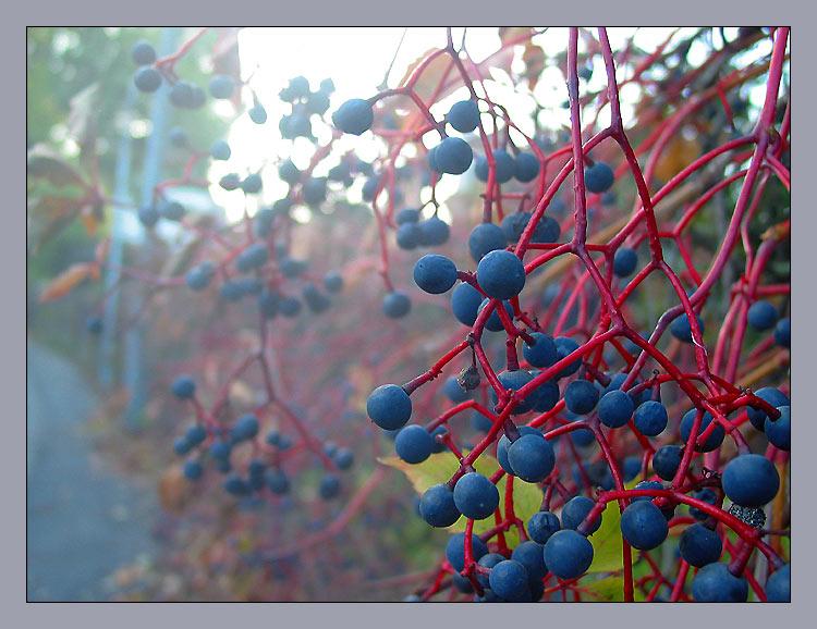 """фото """"дикий виноград"""" метки: природа, цветы"""