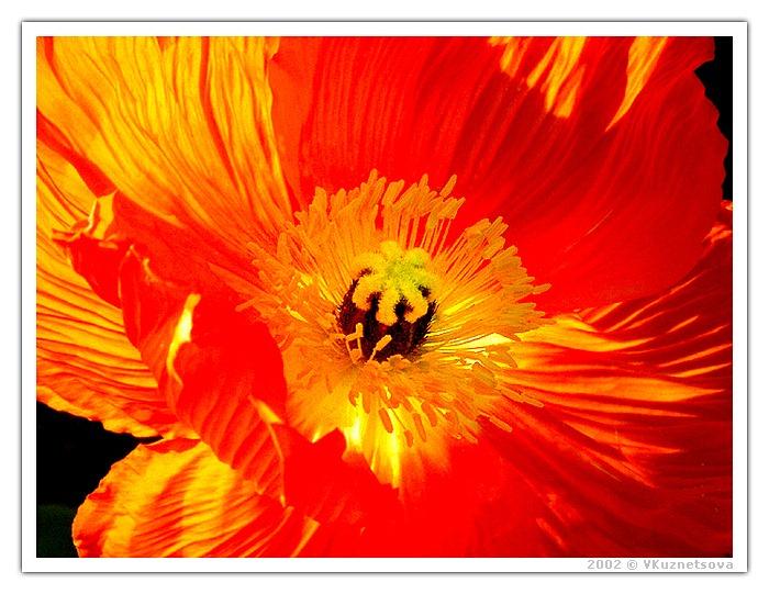 """фото """"Пронизанный солнцем"""" метки: макро и крупный план, природа, цветы"""
