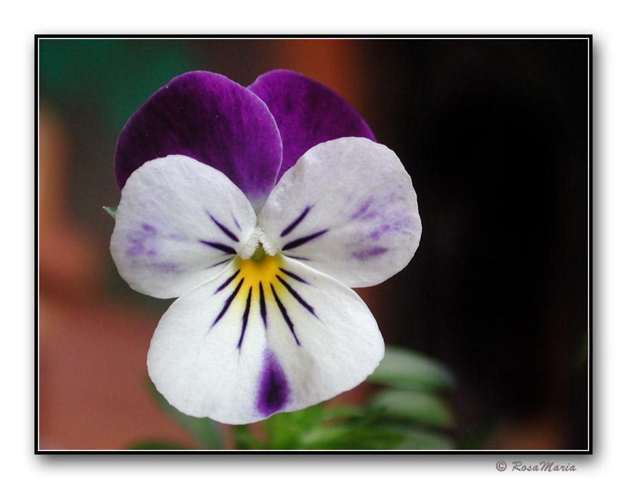 """фото """"Painsy"""" метки: макро и крупный план, природа, цветы"""