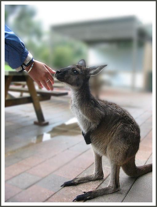 """фото """"Доверие"""" метки: природа, путешествия, Австралия, дикие животные"""