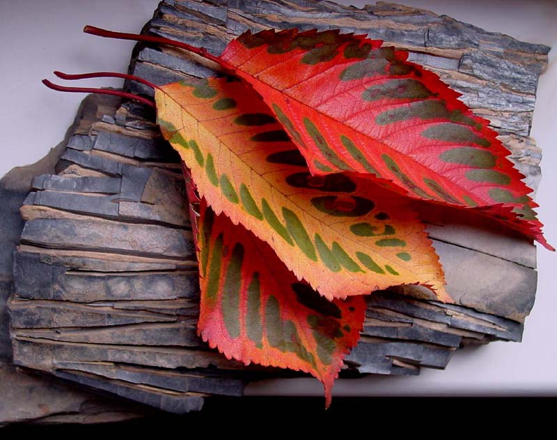 "фото ""autumn leaves"" метки: природа, натюрморт, цветы"