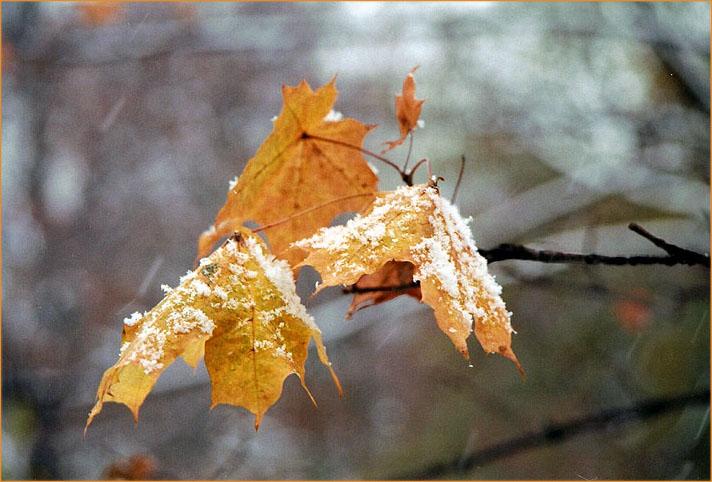 """фото """"Еще немного об осени, зиме и кленовых листьях."""" метки: природа, пейзаж, осень, цветы"""