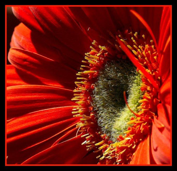 """фото """"Gerbera"""" метки: природа, цветы"""