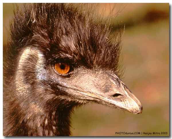 """фото """"Emu"""" метки: природа, домашние животные"""