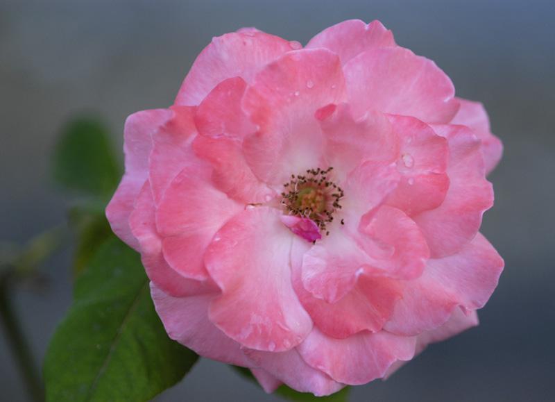 "photo """" Romantic Rose """" tags: macro and close-up,"
