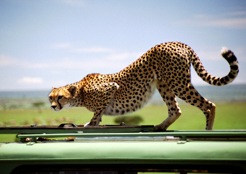 "photo ""A cat on the jeep`s roof"" tags: nature, wild animals"