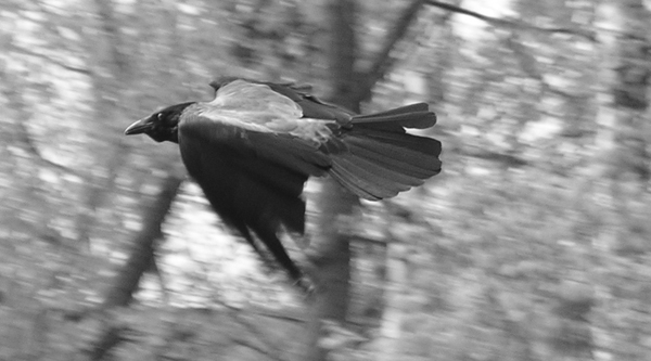 "photo ""In movement, flight"" tags: black&white, nature, wild animals"
