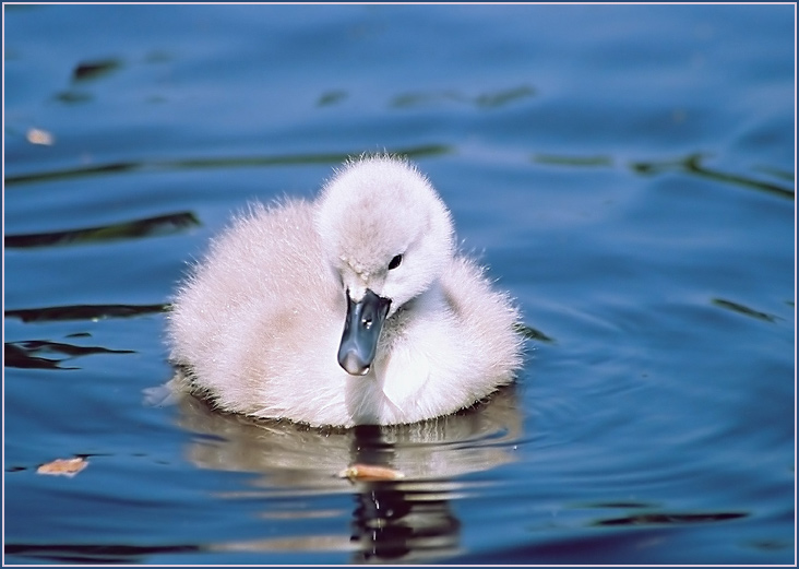 "photo ""Ugly duckling"" tags: nature, wild animals"