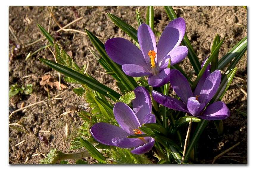"photo ""Crocuses"" tags: nature, macro and close-up, flowers"