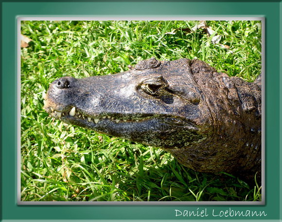"photo ""Croc"" tags: nature, travel, South America, wild animals"