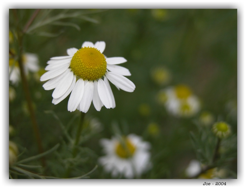 "photo ""Camomile"" tags: nature, flowers"