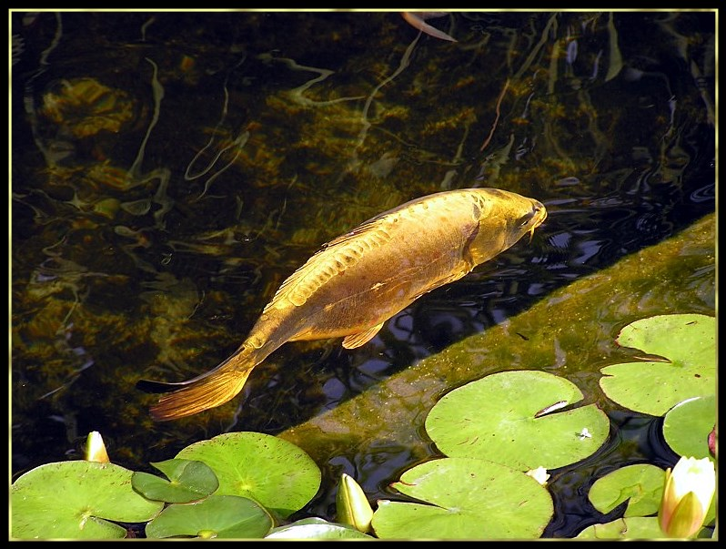 "photo ""Gold Fish"" tags: nature, landscape, water, wild animals"