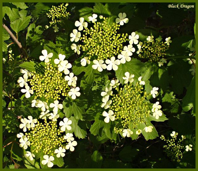 """фото """"Ой цветет калина..."""" метки: макро и крупный план, природа, цветы"""