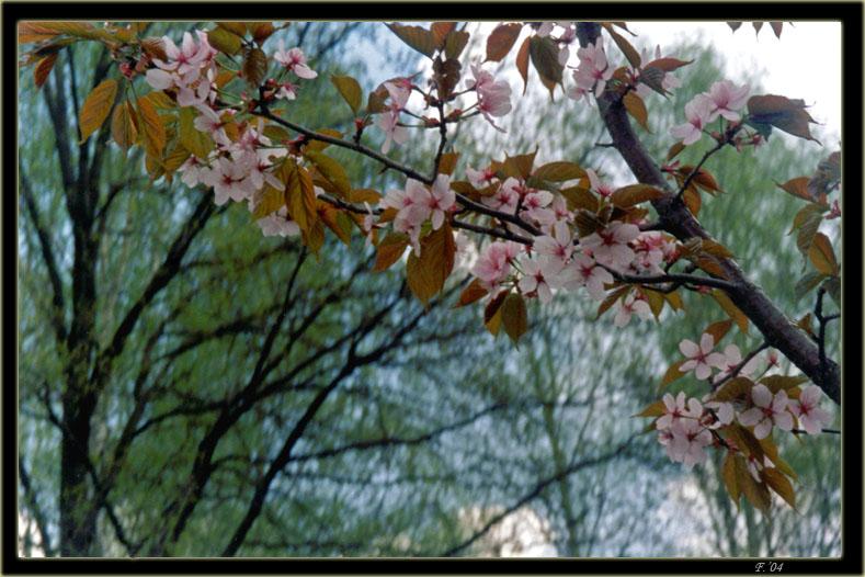 """фото """"Сакура"""" метки: природа, макро и крупный план, цветы"""