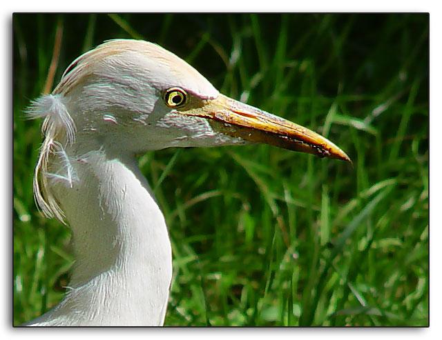 "photo ""Heron"" tags: nature, portrait, wild animals"