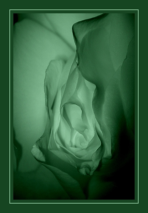 "photo ""Erotic Rose #3"" tags: nude, macro and close-up,"