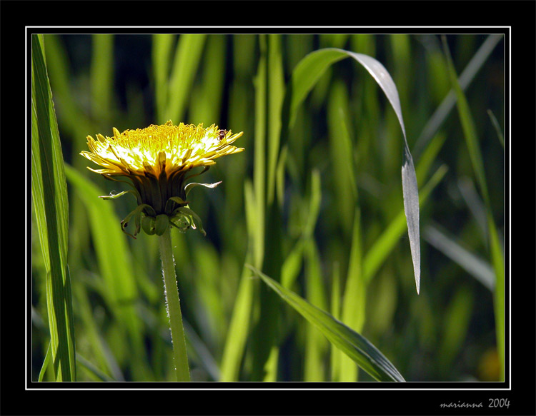 "photo ""Dandelion"" tags: misc., nature, flowers"