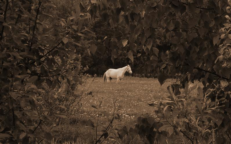 "photo ""Horse my white....."" tags: nature, pets/farm animals"