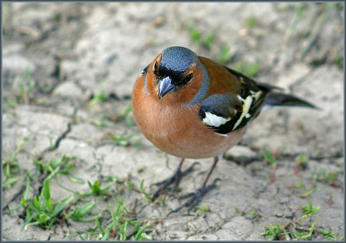 "photo ""Fringilla coelebs"" tags: nature, wild animals"