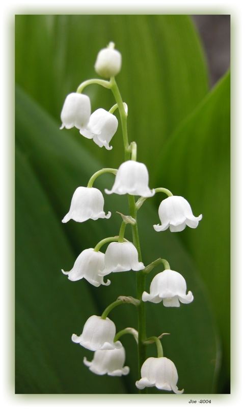 "photo ""Lily of the valley"" tags: nature, flowers"