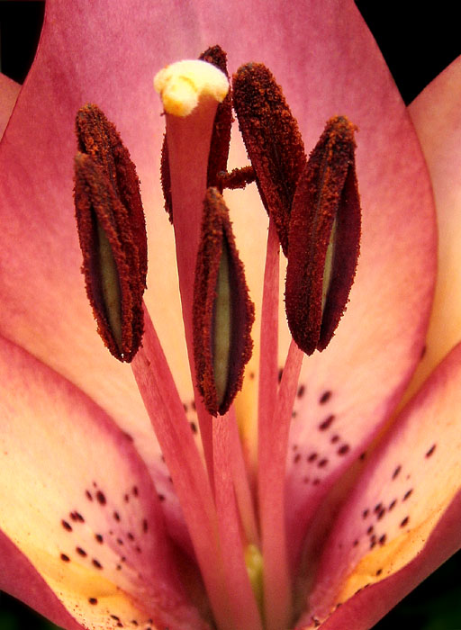 "photo ""Lily"" tags: nature, macro and close-up, flowers"