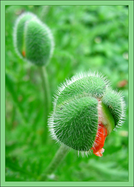 "photo ""Green & Red"" tags: macro and close-up, nature, flowers"