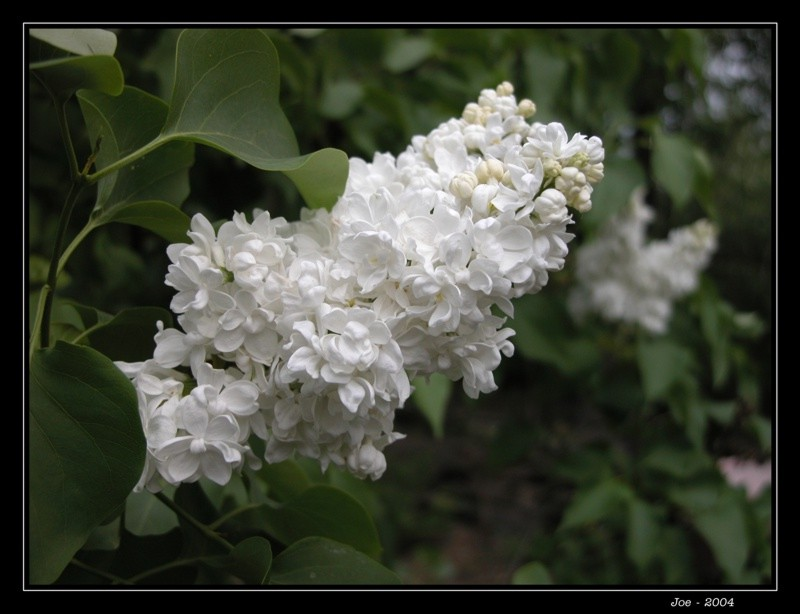 "photo ""Lilac"" tags: nature, flowers"
